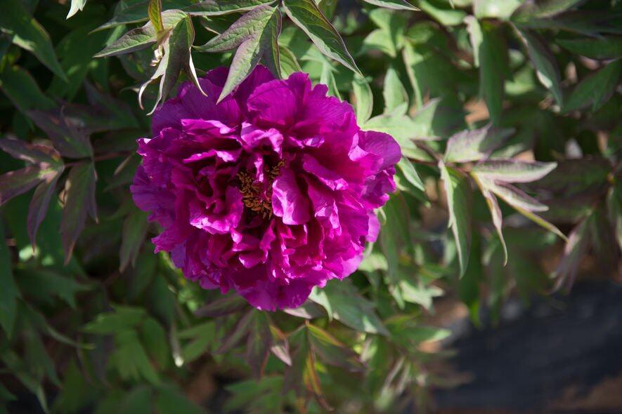 因此,她們大多總有猶豫不決或者好辯的缺點,羞怯的紫羅蘭,將為天秤座