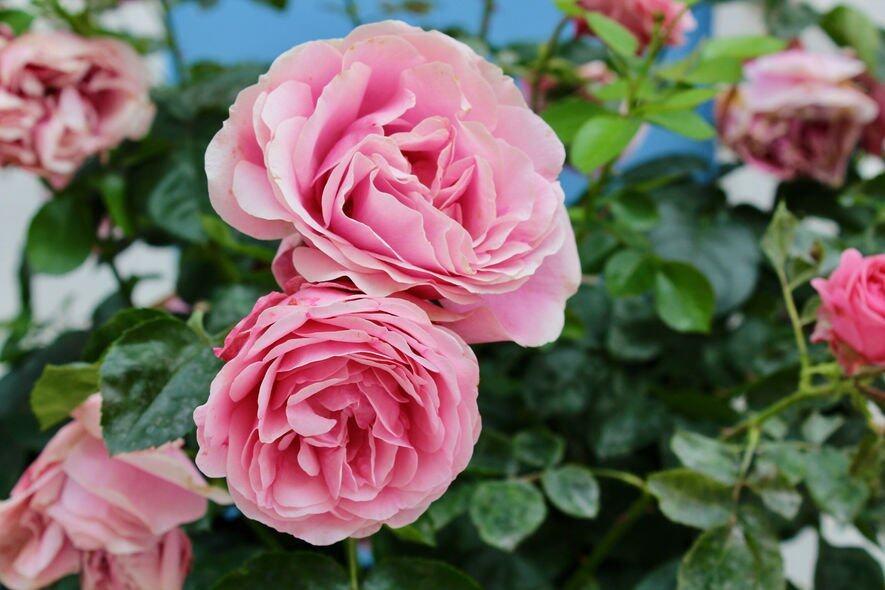 天蠍座:薔薇()